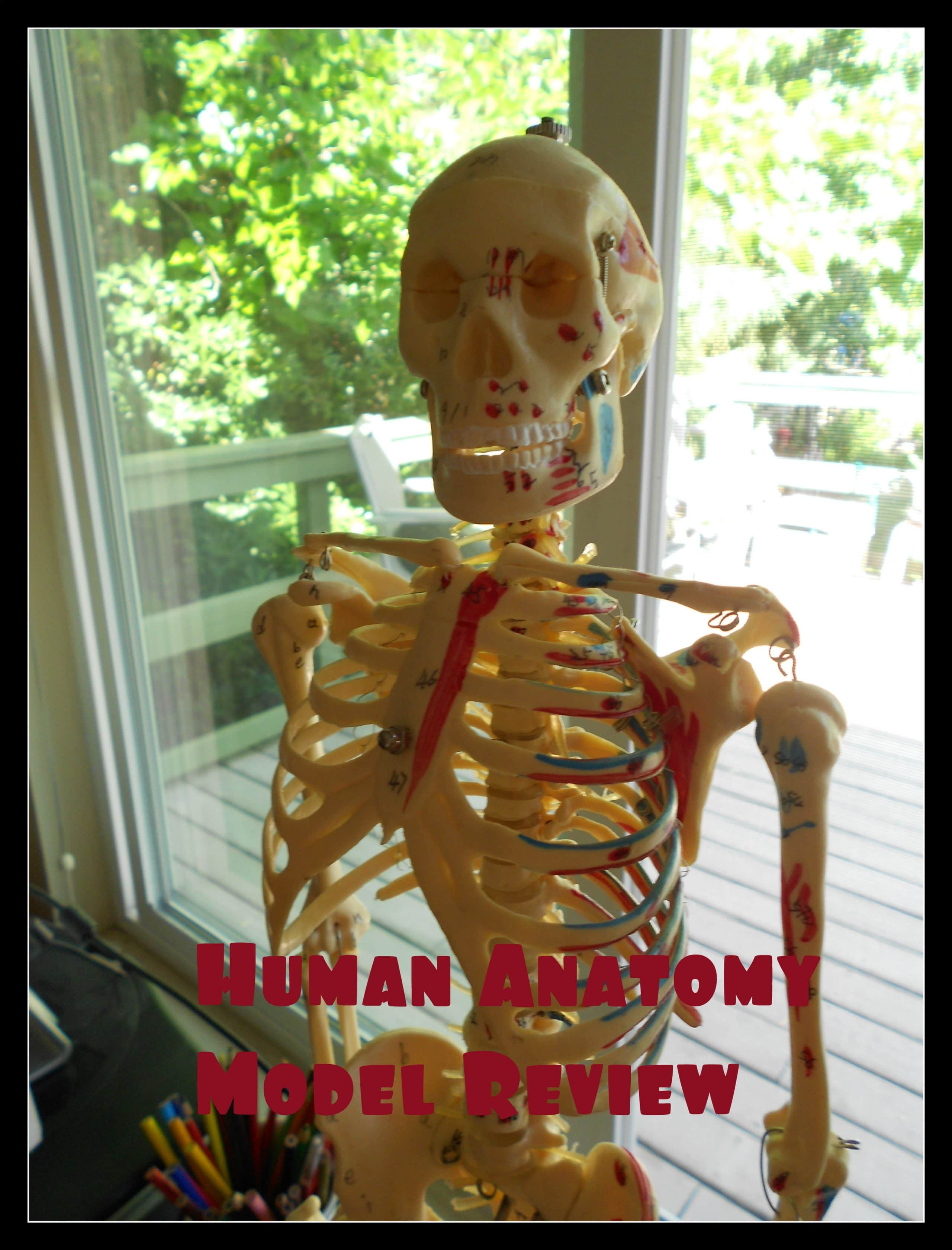Human Anatomy Model Big Tim The Curriculum Choice