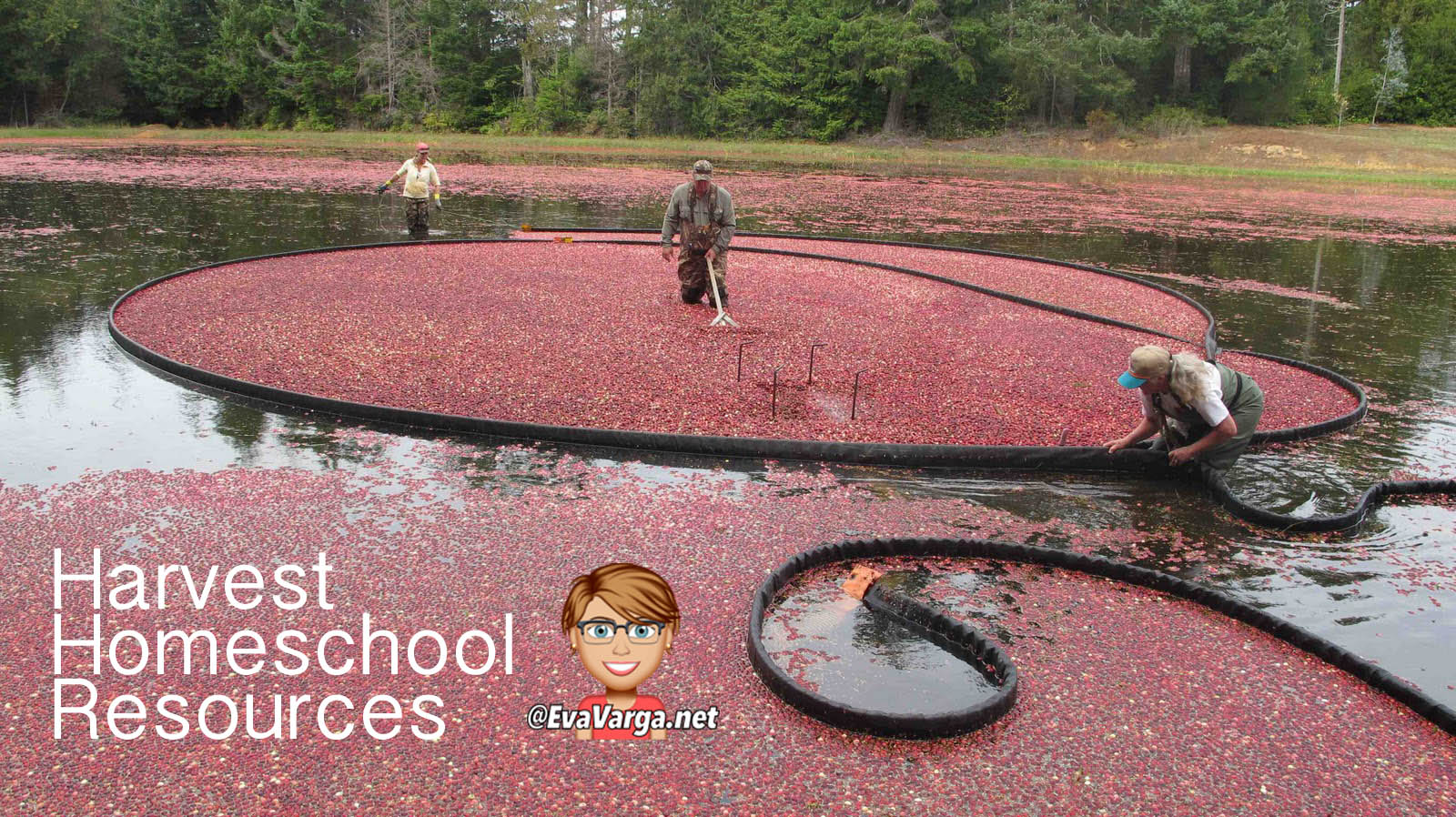 image of a flooded cranberry in midst of harvest with text harvest homeschool resources @EvaVarga.net