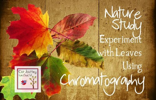 Chromatography is a super fun activity to do just before the leaves begin to change colors in the fall.