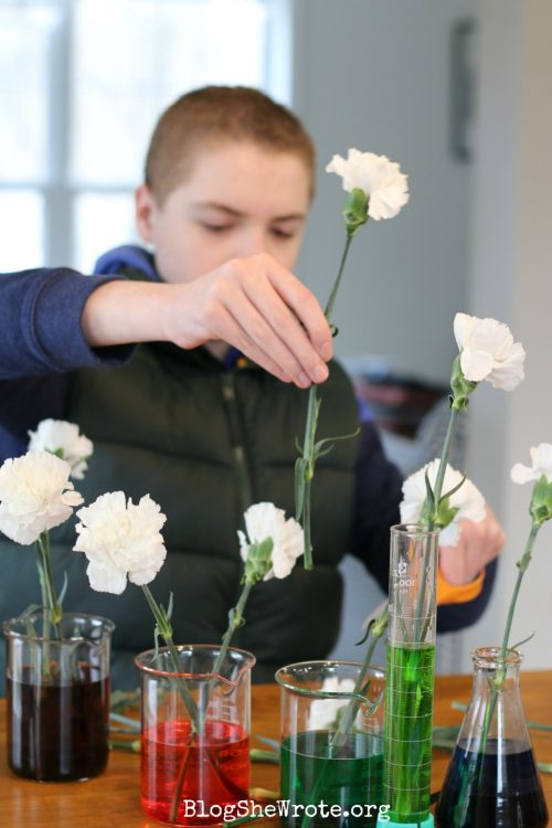 teen boy adding flowers to colored water in beakers. When is it time to take chemistry plus Chemistry High School Curriculum for Homeschool